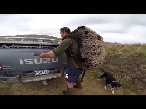 Stag n Boar Hunt in Otago New Zealand