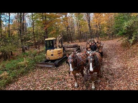 Draft Horses And Equipment Working Together In The Woods