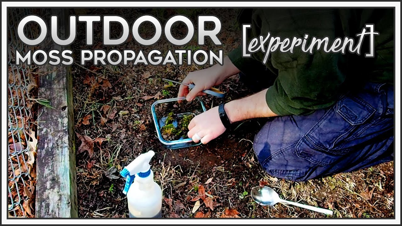 Outdoor Moss Propagation Experiment Youtube