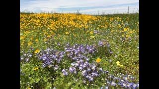 Downingia (at the Jepson Prairie Preserve)