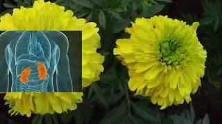 মানব দেহে গাদা ফুলের ঔষধি গুনাগুন গুলি জেনে নিন || Benefits of Marigold flower in the human body