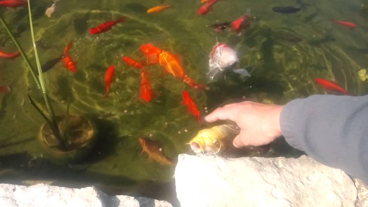 Poisson Rouge Bassin Extérieur bassin carpe koi et poisson rouge