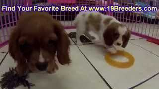 Cavalier King Charles Spaniel,, Puppies, For, Sale, In, New Orleans, Louisiana, La, Jefferson, Bayou