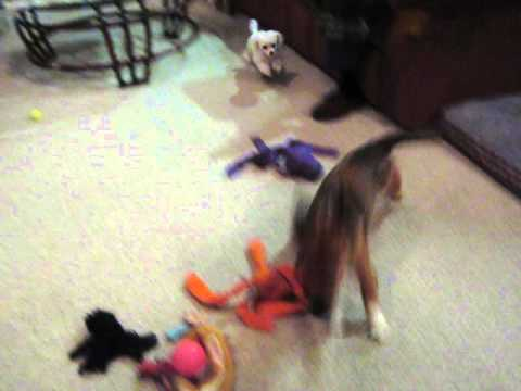Crazy little dog 60fps - YouTube  |Crazy Little Puppies