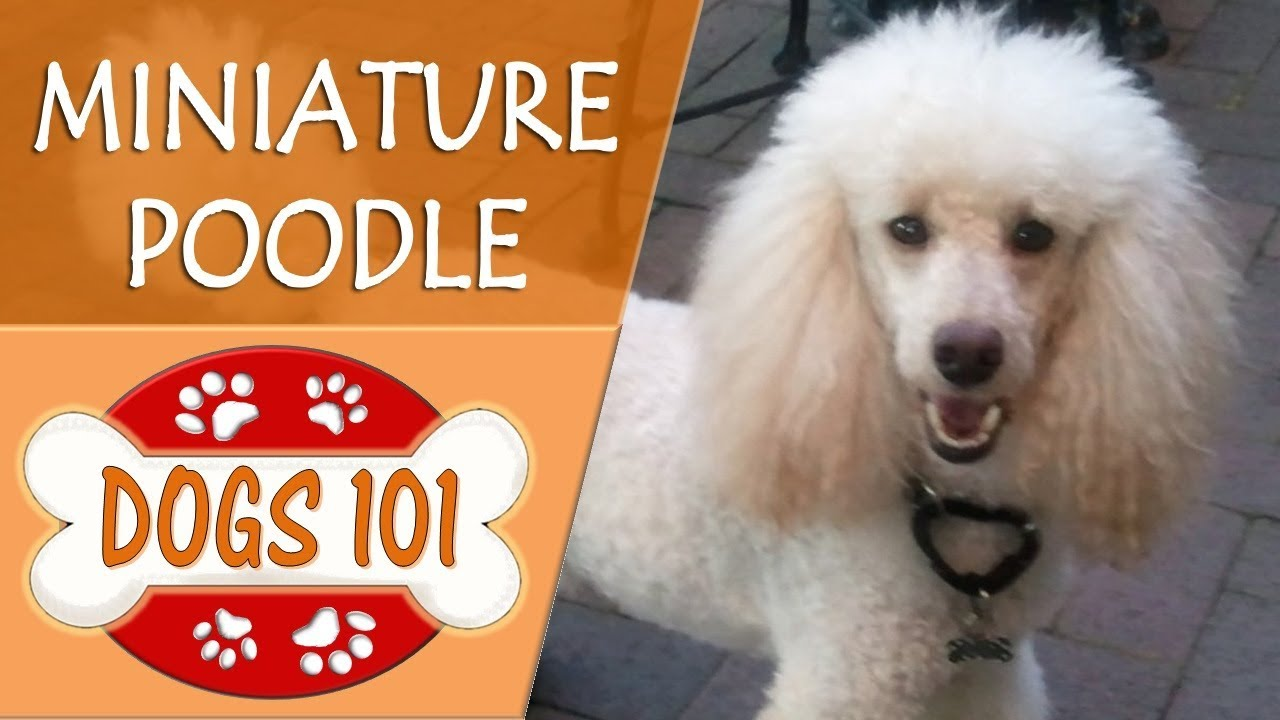 Dogs 101 - POODLE (MINIATURE) - Top Dog Facts About the POODLE (MINIATURE)