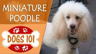 Dogs 101  POODLE (MINIATURE)  Top Dog Facts About the POODLE (MINIATURE)