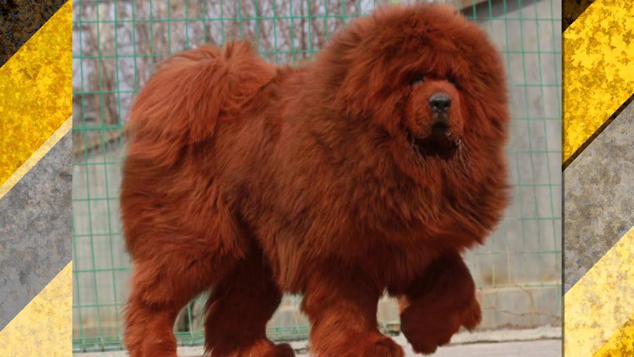 Red Dog Breed Mastiff