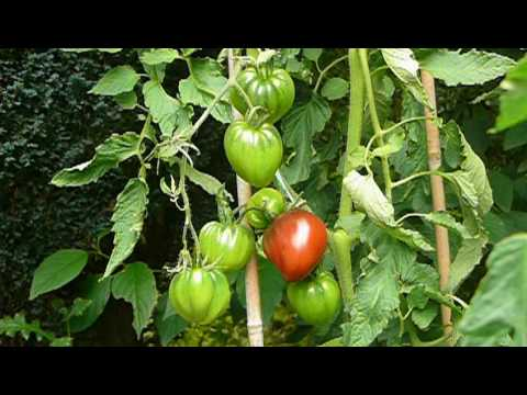 Brads Black Heart Tomato.