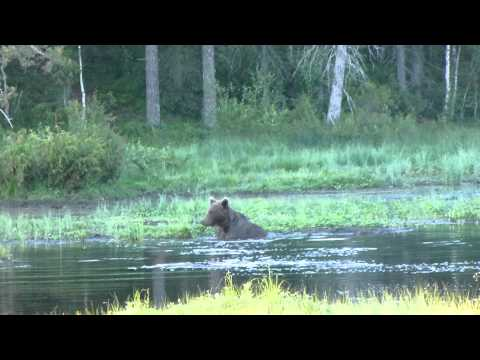 Bear Watching In Kuusamo, Finland