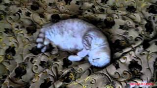 Домашняя любимица:) Скоттиш-страйт (шотландская прямоухая кошка)/Home favorite :)/Scottish-Straight