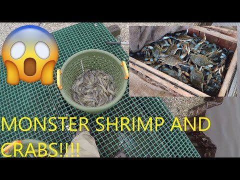 How to Catch Shrimp with Cast Net  How to Catch Monster Blue Crabs  Catching Shrimp with Cast Net