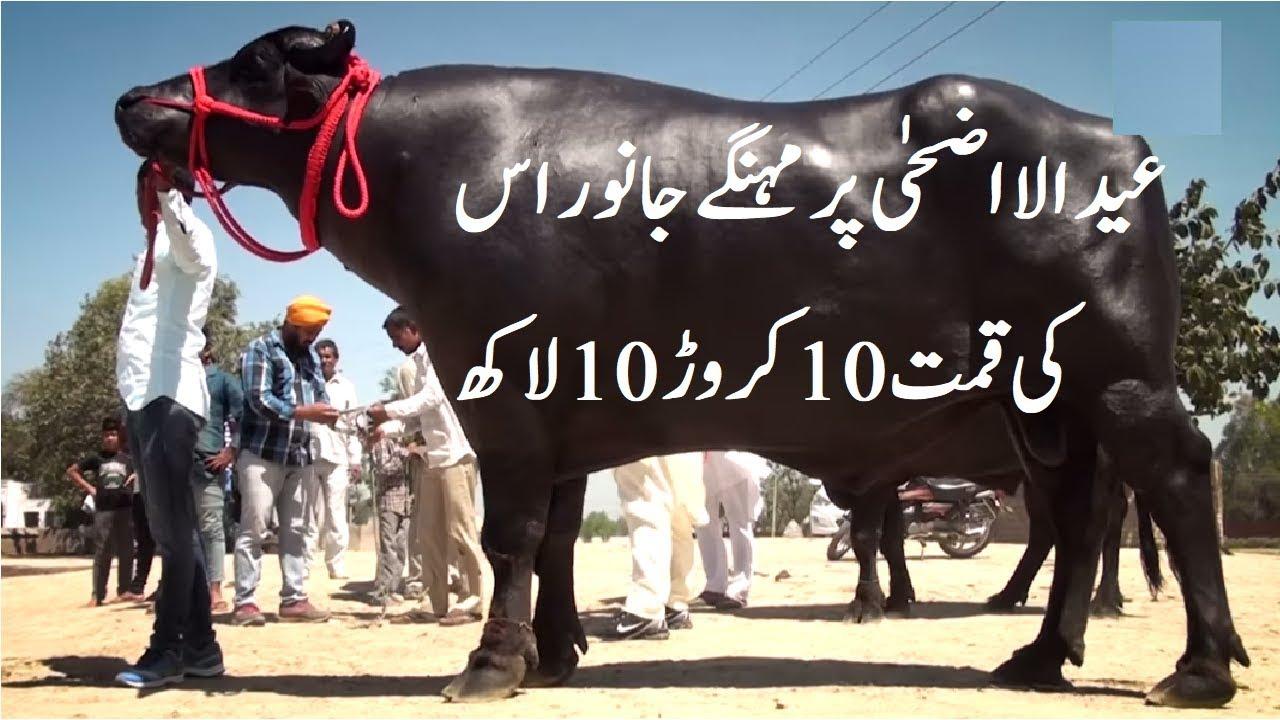 Most Expensive Animals Eid ul Azha 2018 | Highest Goat in Pakistan