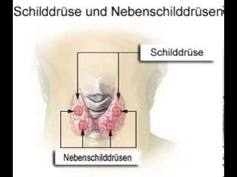 Schilddrüse (gekürzt) - YouTube