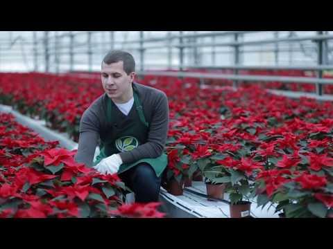 Секреты ухода за Рождественской звездой – пуансеттией