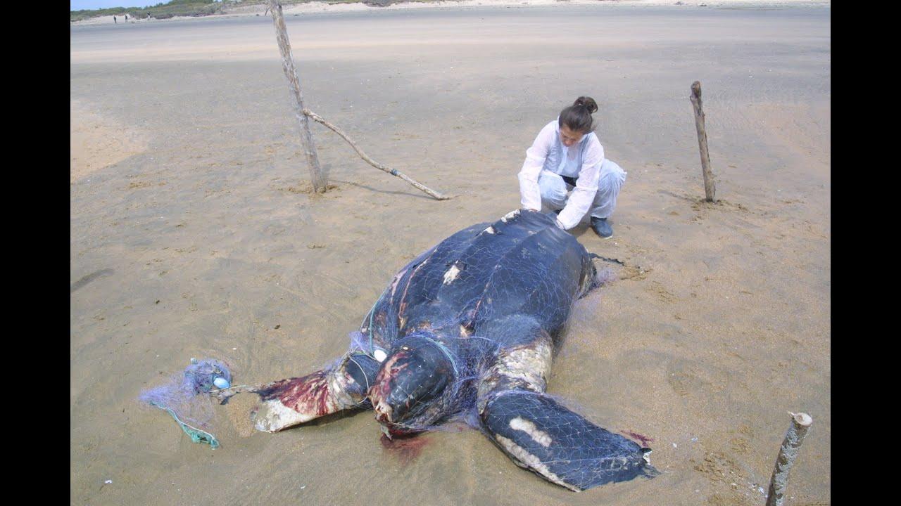 les tortues marines indiquent l 39 tat de pollution des oc ans youtube. Black Bedroom Furniture Sets. Home Design Ideas