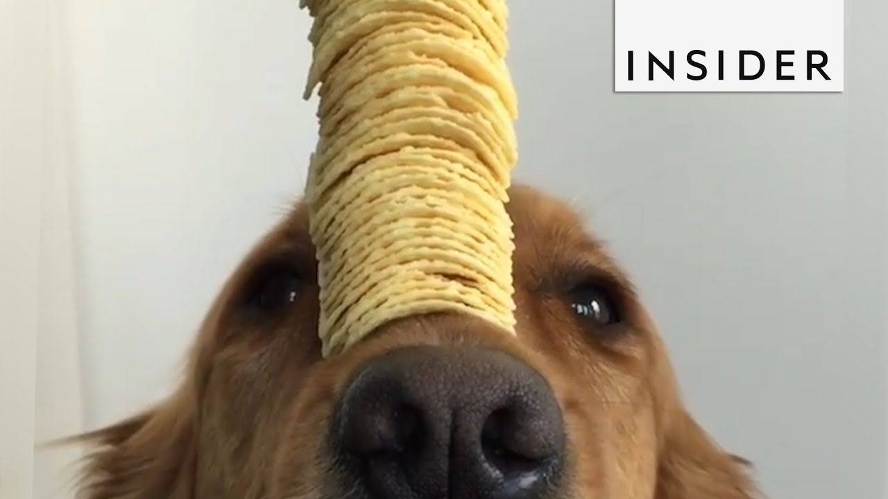 Golden Retriever Is The Master Of SelfControl YouTube - This dog has some serious self control that will make you laugh
