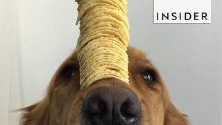 Golden Retriever is the Master of Self-Control