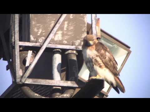 Cornell University Red-tailed Hawks, 6/23/2015 Highlights (HD)