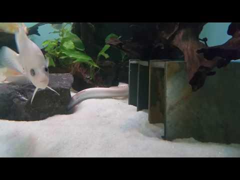 Leucistic eel