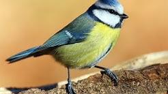 Heimische Singvögel (Doku)