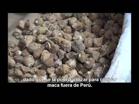Story of the Peruvian Maca