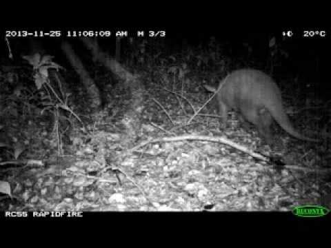 Aardvark caught on camera trap in Ivindo National Park, Gabon
