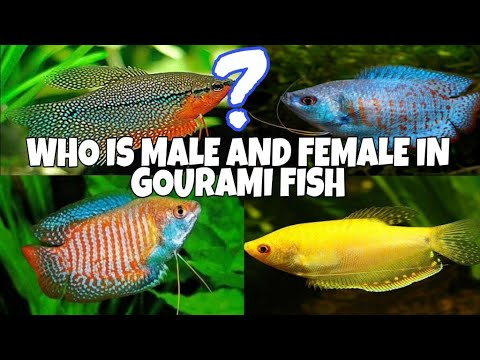 Gourami Fish Male And Female Deffrences