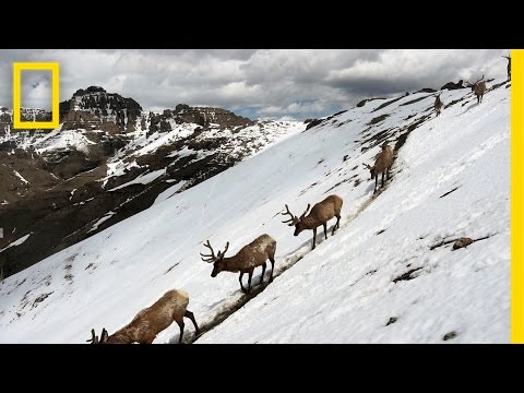 Stunning Footage: Epic Animal Migrations in Yellowstone | National Geographic