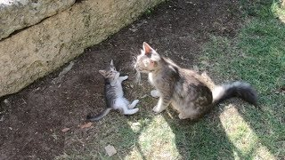 Mom cat wants to clean her kittens but they only want to play