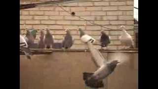 Чехи, спортивные голуби 2013(, 2013-10-10T15:35:06.000Z)