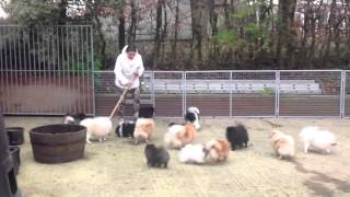 Pomeranians Playing Chase