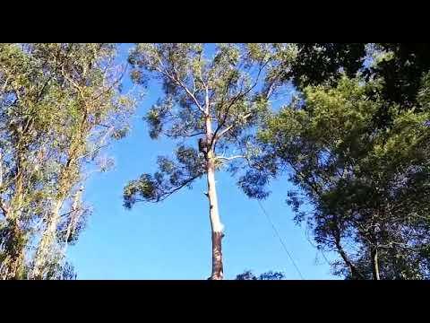 Avanza a poda de árbores nas inmediacións da praia fluvial