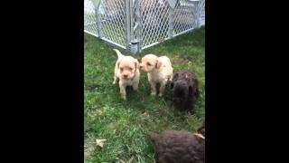 Medium Australian Labradoodle Puppies Available