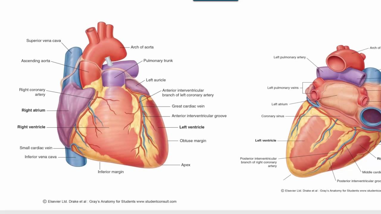 Anatomy 1 | C1 - L10 | Blood & nerve supply of the heart - YouTube