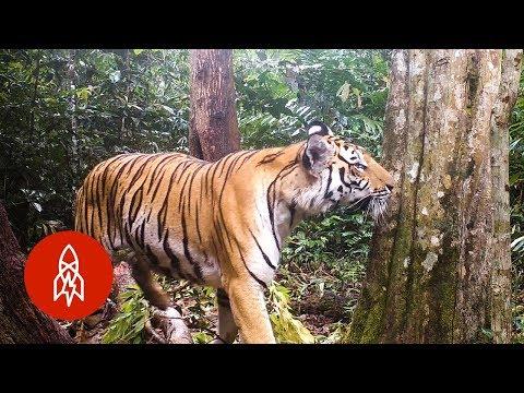 Cách Các Nhà Khoa Học Bảo Tồn Loài Hổ Ở Thái Lan
