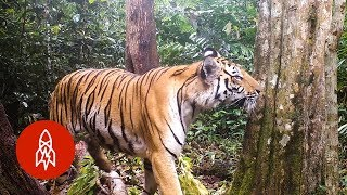 How Scientists Are Protecting Tigers in Thailand