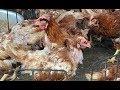 Điều trị bệnh tụ huyết trùng và nhiễm vi khuẩn E coli cho gà   Ánh Dương HCMC