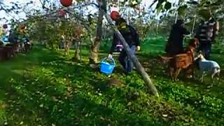 アイリッシュ セターさん達がリンゴ狩りにお越しくださいました^^♪ 大...