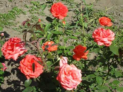 Роза Супер Стар