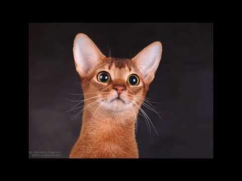 abyssinian cat breeders new zealand