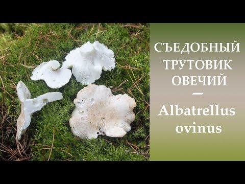 Съедобный Трутовик овечий - Albatrellus ovinus