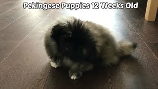 Pekingese Puppies 12 Weeks Old