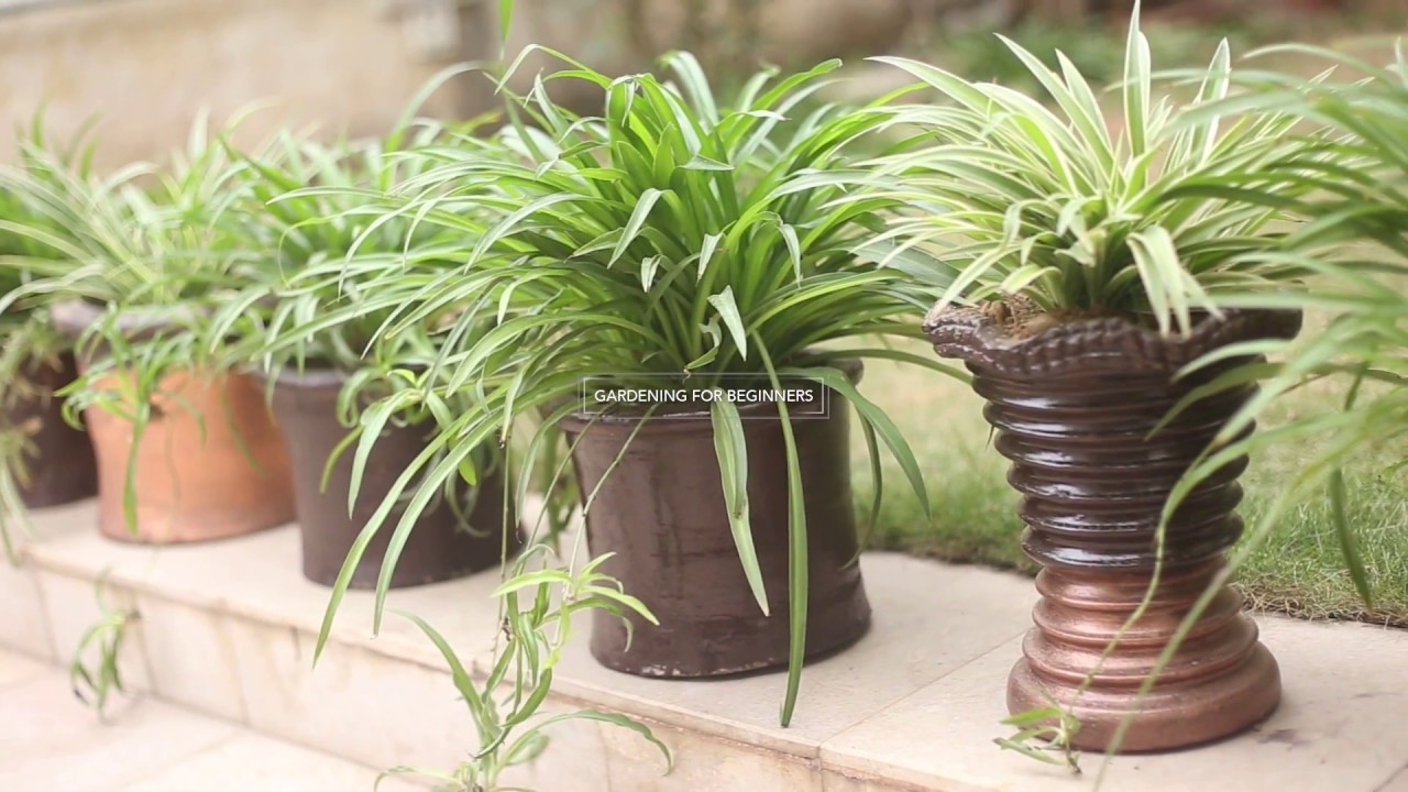 how to care for a spider plant urdu youtube. Black Bedroom Furniture Sets. Home Design Ideas
