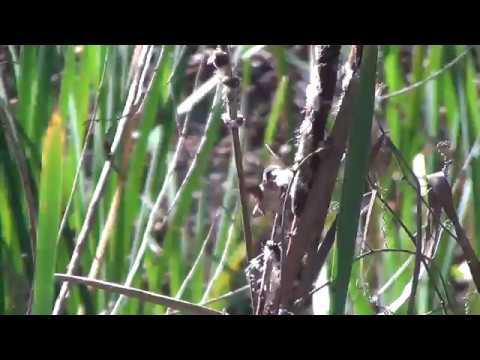 North American Wildlife --- Allen's Hummingbird gathers nesting material