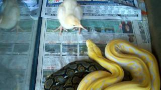 Lavender Albino Tiger Retic. Eating A Chicken