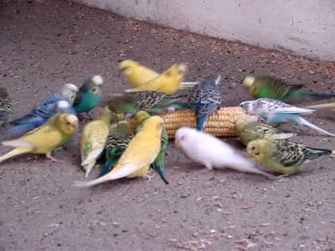 Budgies eating sweet corn