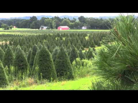 Christmas Tree Species: Douglas Fir