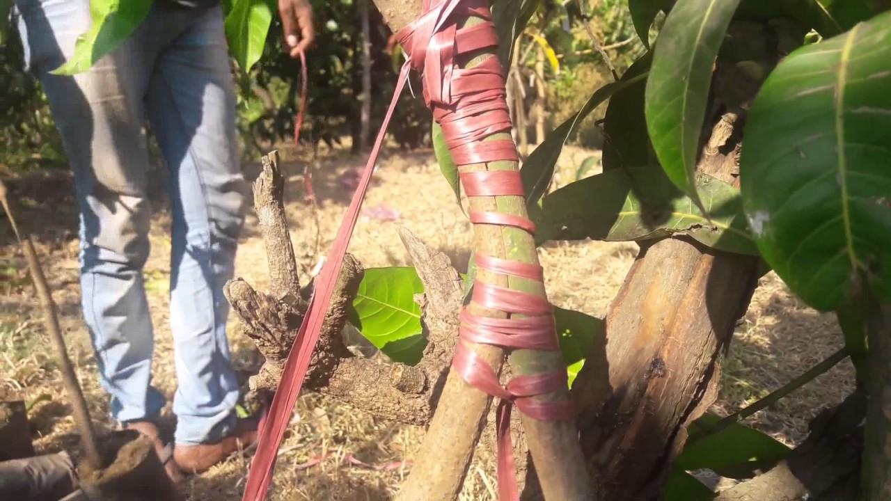 Mango Plant Grafting Methods Youtube