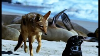 Cape fur seal pups vs black back jackalls | Dune | BBC Earth