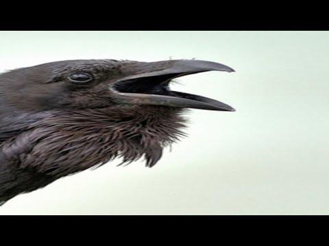 Funny Crow Vid Youtube